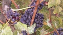 Le vignoble de