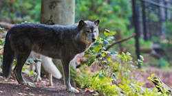 B.C. Says Increasing Wolf Cull Is The Best Plan To Save