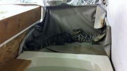 Alligators Guard Pot In Stripper's