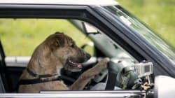 Les chiens peuvent conduire, la preuve
