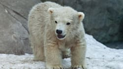Three Polar Bear Cubs Dead At Toronto