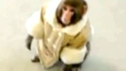 Darwin The Ikea Monkey Is Looking For A New