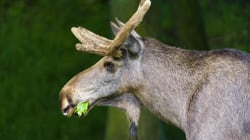 Mad Moose Disease Won't Spread:
