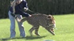 Kito e Kuburi, quando i ghepardi si allenano all'ippodromo