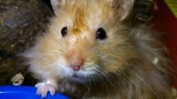 911 Caller Asks For Hamster