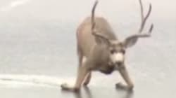 Rescatan a este ciervo del hielo