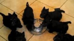 Six chiots, un bol de lait: la vidéo la plus mignonne de la