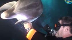 Un dauphin blessé demande de l'aide à un