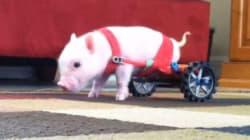 Un petit cochon pas comme les autres!