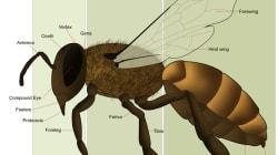 Les comportements sociaux des abeilles décryptent