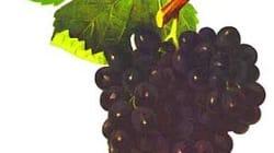 Magrets de canard aux figues - Le vin qui va