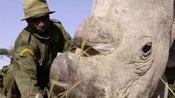 Only 3 Northern White Rhino Are Left On Earth. Meet The Humans Struggling To Save