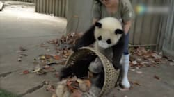 Troublemaking Pandas Make It Impossible To Get Anything