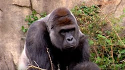 Gorilla Shot Dead After Grabbing Young Boy At Cincinnati