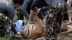 Tigers Are Being Removed From Tiger Temple 'Hell' In