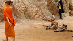 Thailand Charges Buddhist Monks After Tiger Parts Found At