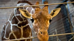 Giraffe-Killing Zoo Gets New Baby