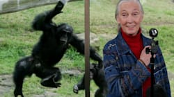 Trump's Behaviour Similar To Male Chimpanzee, Says Jane