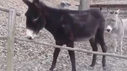 Smart Donkey Uses Awesome Problem-Solving Skills To Cross