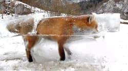 Hunter Displays Sad Foxsicle As Frigid