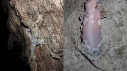 Don't Try To Catch This Bizarre Gecko - Its Skin Will Literally Fall