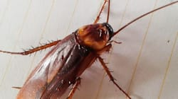 Cockroach Milk Might Be The Hot New Superfood, According To