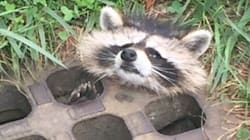 Adorable Little Raccoon Rescued From Sewer