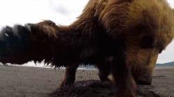 グリズリーさん「なにこれ?ムカつくわー」GoProに強烈なグワシ