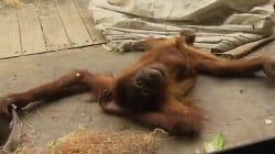 Here Is A Breakdancing Orangutan. That Is