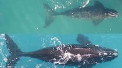 WWF Drones Capture Mother Whale 'Nurturing'