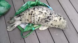 Seal Pup Dies After Woman Carries Him Home In Plastic