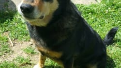 Houdini Dog Owner Sets Up Crowdfunding Page After NSW Kelpie Racks Up $4000 In