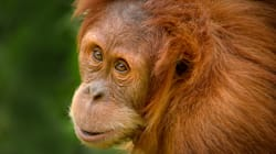 Perth's Nyaru The Orangutan Set Free In Indonesian Rainforest