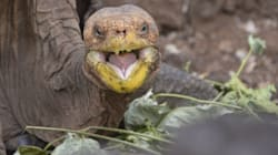 This 100-Year-Old Tortoise Loves Sex And Is Repopulating His