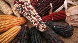 El maíz más grande del mundo
