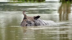 Assam Flood: 200 Animals Drown To Death In Kaziranga National