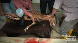 Video: Australian Animals Brutally Killed In Middle East And