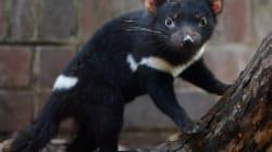 Tasmanian Devil Milk Is A New Hope In Fighting