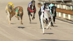 NSW To Ban Greyhound Racing After Cruelty
