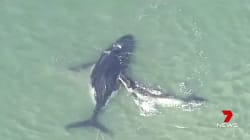 Ce baleineau veut sauver sa mère coincée sur le