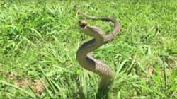 Slow-Motion Brown Snake Looks Kinda