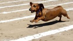 Sausage Dog Dash Charms