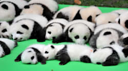 23 Panda Cubs Met The Public For The First Time And It Was