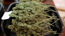 Bastano 2mila euro per iscriversi al master in marijuana a