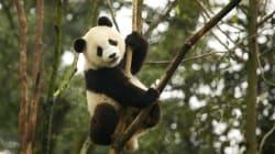 Los pandas están más cerca de salvarse, no así los