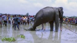 Indian Elephant That Was Swept Away Over 1700 Km In Bangladesh,
