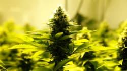 Legalise Medical Marijuana, Suggests Maneka