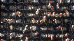 KFC debería cuidar más a sus pollos que a su receta