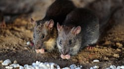Indian Railways Hire 'Contract Killers' To End Rat Menace At Lucknow's Charbagh
