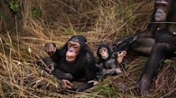 Human Beds Found To Be Dirtier Than Chimpanzee
